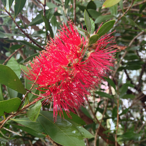 callistemon flower